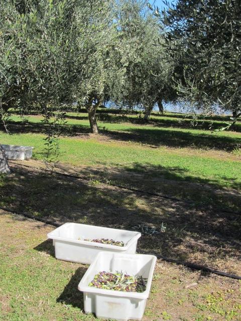 Olive Harvest 2014