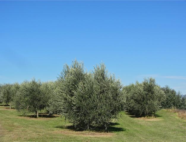 Pialligo Olive Grove